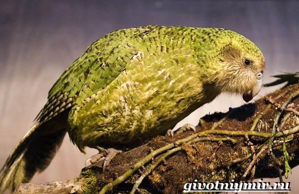 Совиный-попугай-Образ-жизни-и-среда-обитания-совиного-попугая-10