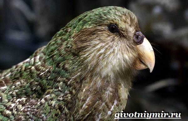 Совиный-попугай-Образ-жизни-и-среда-обитания-совиного-попугая-11