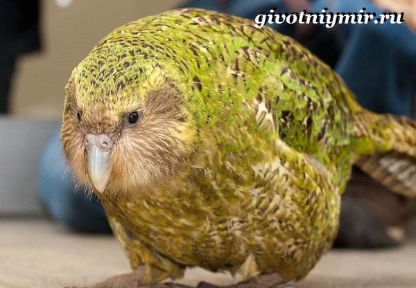 Совиный-попугай-Образ-жизни-и-среда-обитания-совиного-попугая-2