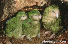 Совиный попугай. Образ жизни и среда обитания совиного попугая