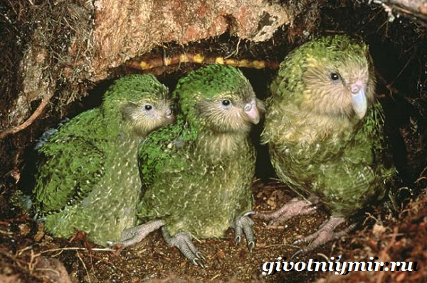 Совиный-попугай-Образ-жизни-и-среда-обитания-совиного-попугая-3