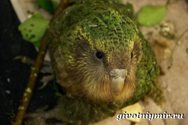 Совиный-попугай-Образ-жизни-и-среда-обитания-совиного-попугая-5