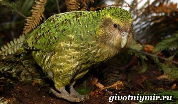 Совиный-попугай-Образ-жизни-и-среда-обитания-совиного-попугая-7