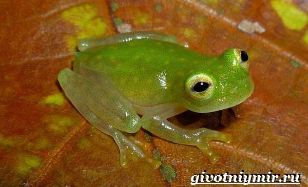 Стеклянная-лягушка-Образ-жизни-и-среда-обитания- стеклянной-лягушки-11