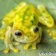 Стеклянная лягушка. Образ жизни и среда обитания стеклянной лягушки