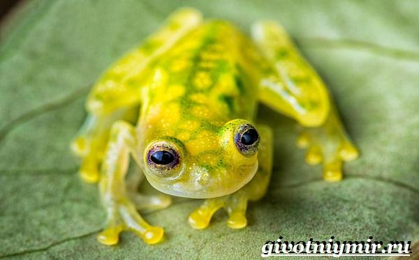 Стеклянная-лягушка-Образ-жизни-и-среда-обитания- стеклянной-лягушки-13