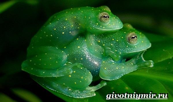 Стеклянная-лягушка-Образ-жизни-и-среда-обитания- стеклянной-лягушки-15