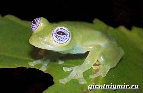 Стеклянная-лягушка-Образ-жизни-и-среда-обитания- стеклянной-лягушки