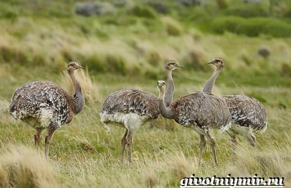 Страус-нанду-образ-жизни-и-среда-обитания-страуса-нанду-16-1