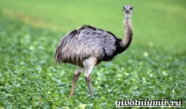 Страус-нанду-образ-жизни-и-среда-обитания-страуса-нанду-19-1