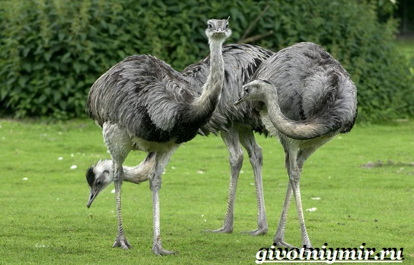 Страус-нанду-образ-жизни-и-среда-обитания-страуса-нанду-2