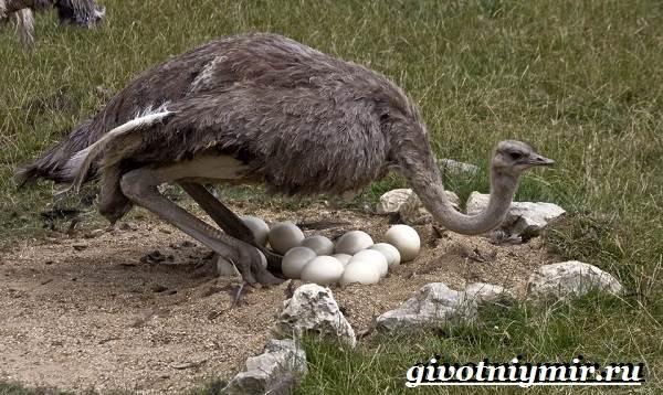 Страус-нанду-образ-жизни-и-среда-обитания-страуса-нанду-22
