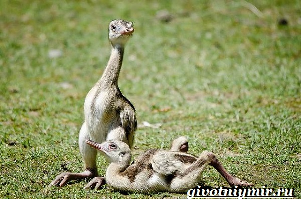 Страус-нанду-образ-жизни-и-среда-обитания-страуса-нанду-4