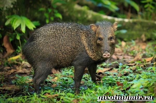 Свинья-пекари-Образ-жизни-и-среда-обитания-свиней-пекари-10-1