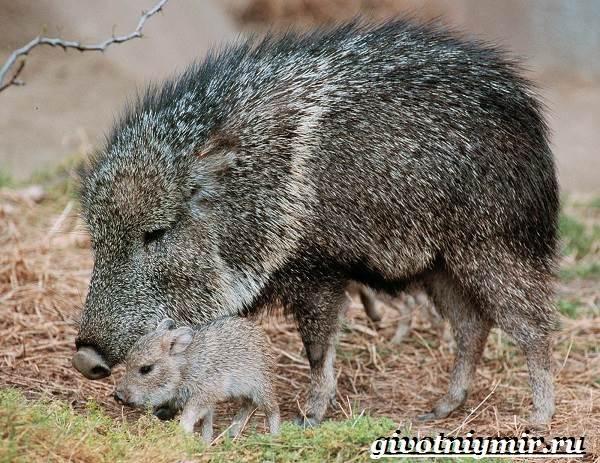 Свинья-пекари-Образ-жизни-и-среда-обитания-свиней-пекари-15