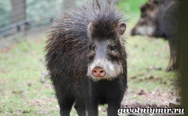 Свинья-пекари-Образ-жизни-и-среда-обитания-свиней-пекари-16