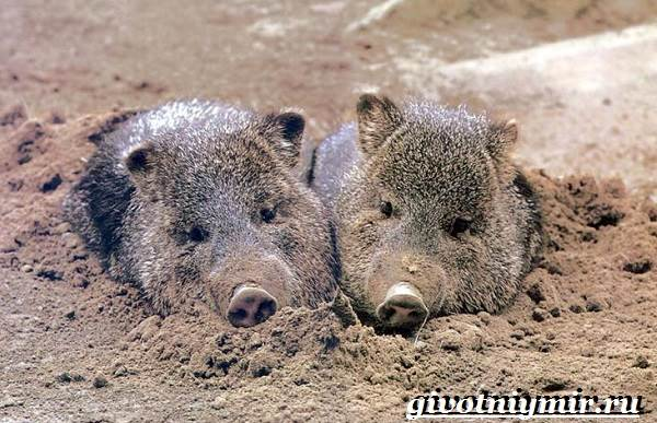 Свинья-пекари-Образ-жизни-и-среда-обитания-свиней-пекари-17