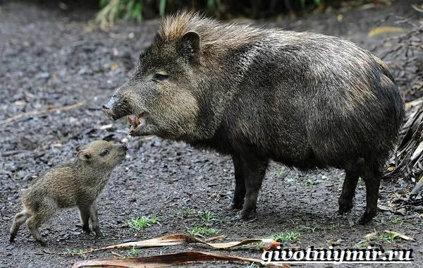 Свинья-пекари-Образ-жизни-и-среда-обитания-свиней-пекари-18
