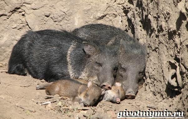 Свинья-пекари-Образ-жизни-и-среда-обитания-свиней-пекари-19