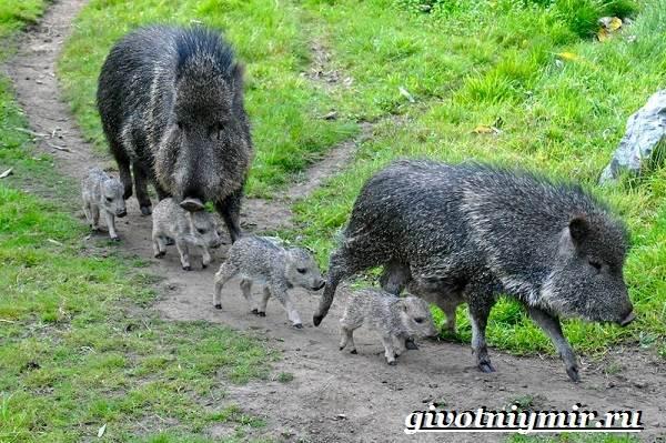 Свинья-пекари-Образ-жизни-и-среда-обитания-свиней-пекари-2-1