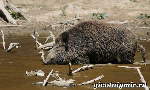 Свинья-пекари-Образ-жизни-и-среда-обитания-свиней-пекари-20