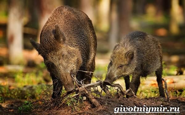Свинья-пекари-Образ-жизни-и-среда-обитания-свиней-пекари-21