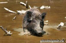Свинья пекари. Образ жизни и среда обитания свиней пекари