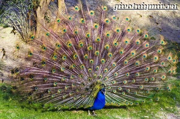 Тропические-птицы-Виды-названия-описания-и-фото-тропических-птиц-5