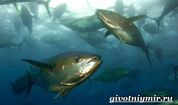 Тунец-рыба-Образ-жизни-и-среда-обитания-тунца-12