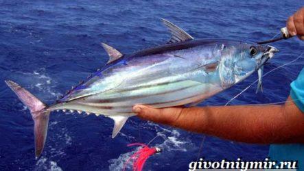 Тунец рыба. Образ жизни и среда обитания тунца