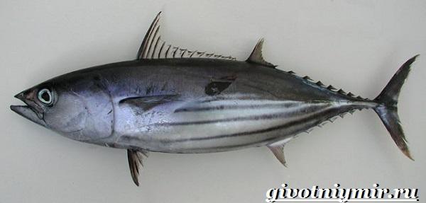 Тунец-рыба-Образ-жизни-и-среда-обитания-тунца-3