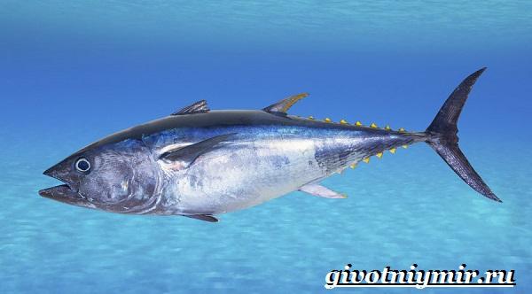 Тунец-рыба-Образ-жизни-и-среда-обитания-тунца-4