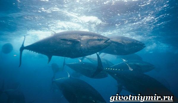 Тунец-рыба-Образ-жизни-и-среда-обитания-тунца-7