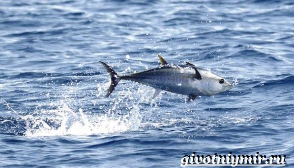 Тунец-рыба-Образ-жизни-и-среда-обитания-тунца-8