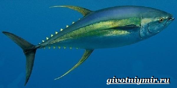 Тунец-рыба-Образ-жизни-и-среда-обитания-тунца-9