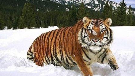Туранский тигр. Описание, особенности, среда обитания туранского тигра