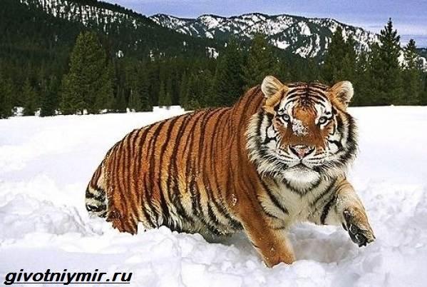Туранский-тигр-Описание-особенности-среда-обитания-туранского-тигра-1