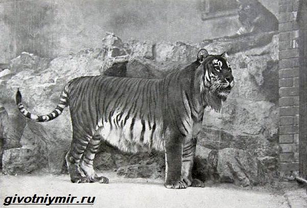 Туранский-тигр-Описание-особенности-среда-обитания-туранского-тигра-2