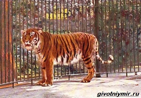 Туранский-тигр-Описание-особенности-среда-обитания-туранского-тигра-3