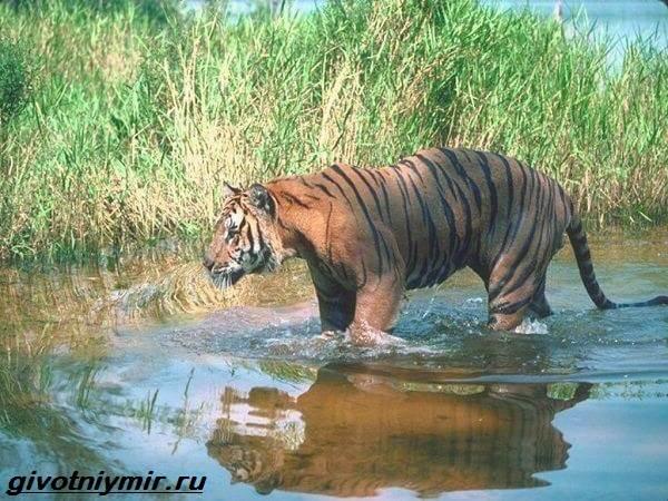 Туранский-тигр-Описание-особенности-среда-обитания-туранского-тигра-5