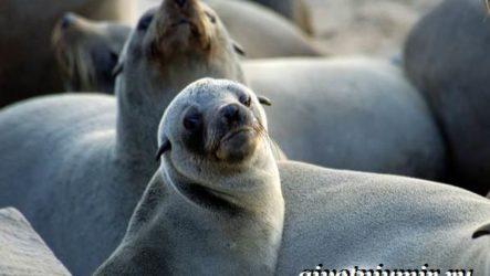 Ушастый тюлень. Образ жизни и среда обитания ушастого тюленя