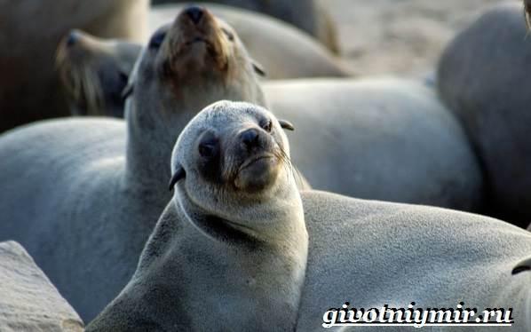 Ушастый-тюлень-Образ-жизни-и-среда-обитания-ушастого-тюленя-1