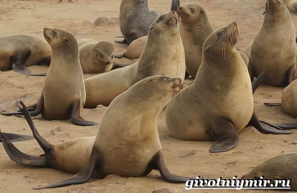 Ушастый-тюлень-Образ-жизни-и-среда-обитания-ушастого-тюленя-3
