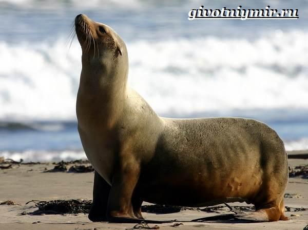 Ушастый-тюлень-Образ-жизни-и-среда-обитания-ушастого-тюленя-4