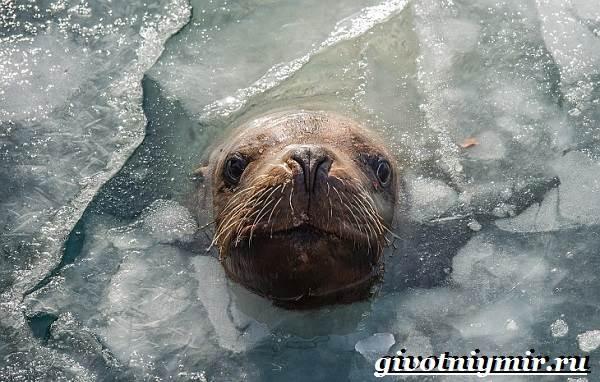 Ушастый-тюлень-Образ-жизни-и-среда-обитания-ушастого-тюленя-5