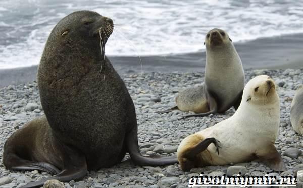 Ушастый-тюлень-Образ-жизни-и-среда-обитания-ушастого-тюленя-7