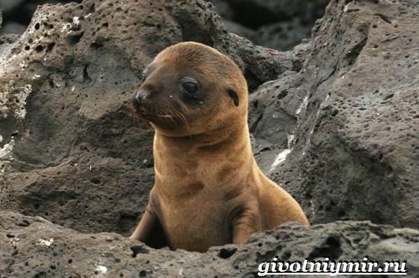 Ушастый-тюлень-Образ-жизни-и-среда-обитания-ушастого-тюленя-8