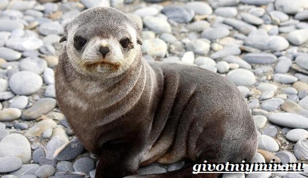 Ушастый-тюлень-Образ-жизни-и-среда-обитания-ушастого-тюленя-9