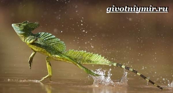 Василиск-ящерица-Образ-жизни-и-среда-обитания-василиска-10