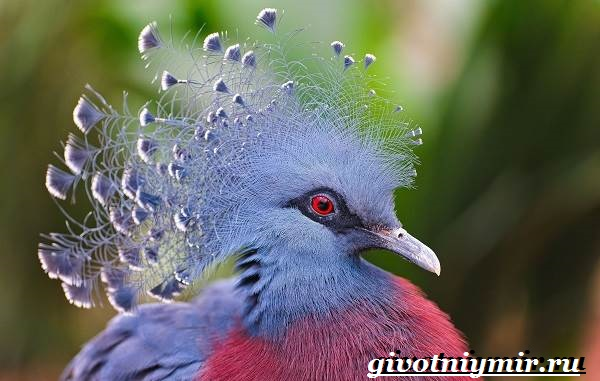 Венценосный-голубь-Образ-жизни-и-среда-обитания-венценосного-голубя-1